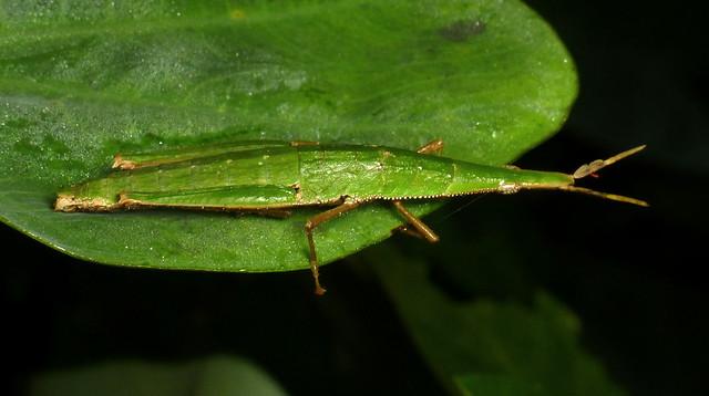 Spear-headed grasshopper, Omura congrua, Pyrgomorphidae