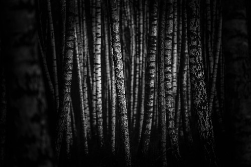 trees bw forest woods photographer darkness deep skog svartvitt mörker björkskog michaelerhardsson