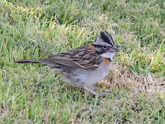 Rufous-collared Sparrow, Colca Canyon, Peru