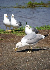 Pacific Sea Gulls, Don Edwards Regional Park