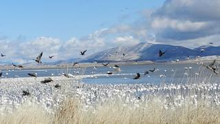 klamath_geese