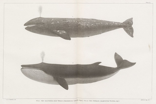 Fig. 1. The California Gray Whale (Rhachieanectes claucus Cope.) Fig. 2. The Finback (Balaenoptera velifera, Cope.)