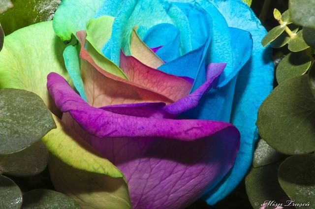 trandafiri curcubeu