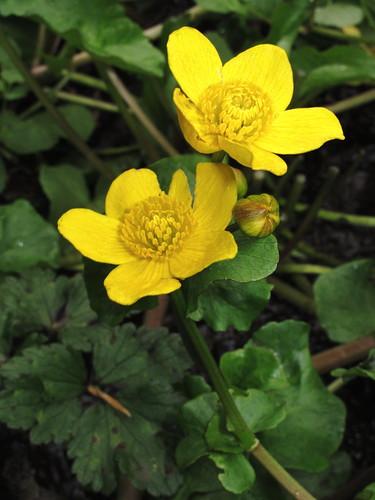 Marsh Marigold 1163