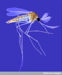 Mosquitos in water, Adult male mosquito by Spike Walker