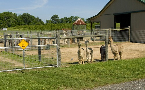 Alpacas, Moore or Less Farm, Bushwood