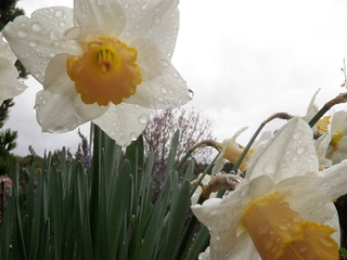 Flowers in March 2012 - rain drops
