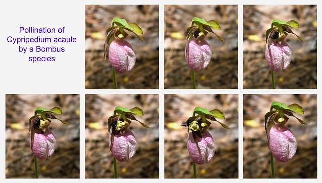 Pollination of Cypripedium acaule (Pink lady's-slipper orchid) by a Bombus species  (Explored 4-8-2012)