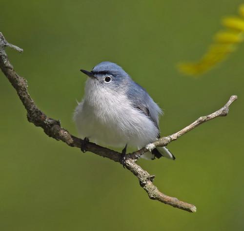 Blue-Gray Gnatcatcher (Polioptila caerulea), Basking Ridge, NJ by JFPescatore