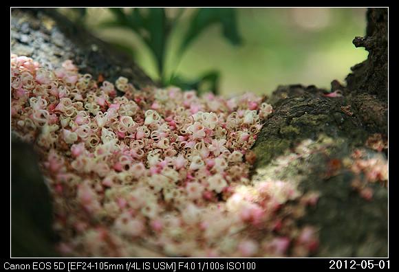 20120501Sterculia nobilis_13