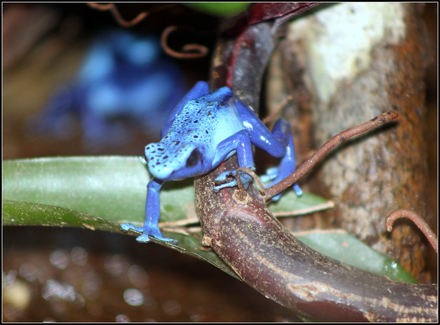 Florida Poison Frogs http://www.flickr.com/photos/cuatrok77/7423282602/
