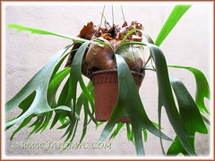Platycerium bifurcatum (Staghorn Fern) still beautiful after removal of its top pup