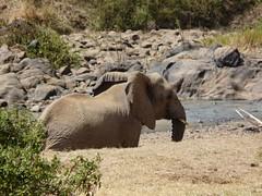 Elephant - Mpala Farm 1