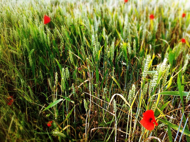 Poppies In between The Grass