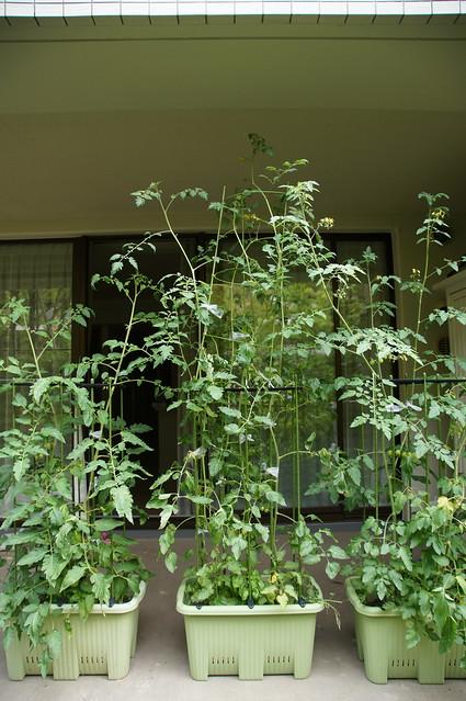 大きくなったトマトの苗