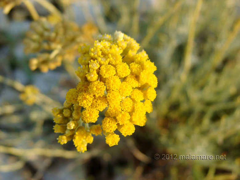 picking immortelle at dawn intense colour