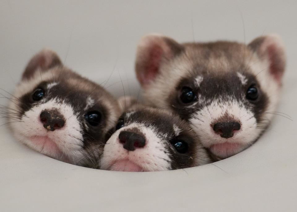 Ferrets And Cat Food