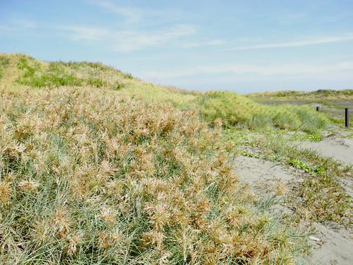沙灘上的濱刺麥。