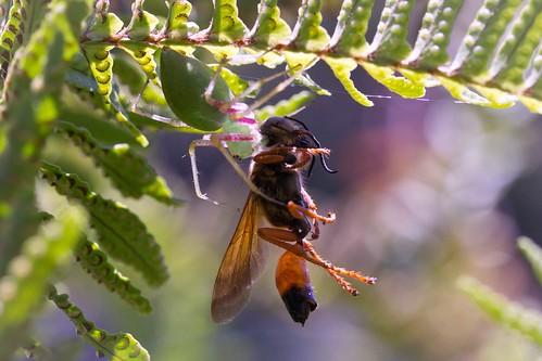 spider wasp lynxspider greenspider spidervswasp