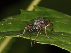 Evodinus clathratus (Cerambycidae: Lepturinae)
