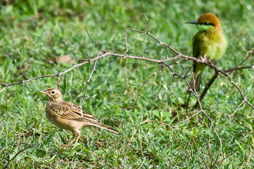 Richard's Pipit  and  Little Green Bee-eater