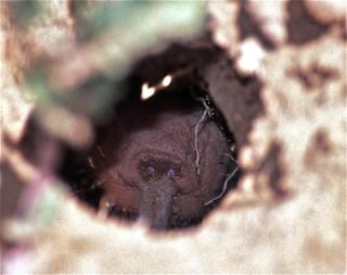 Naked Mole Rat (Heterocephalus glaber)
