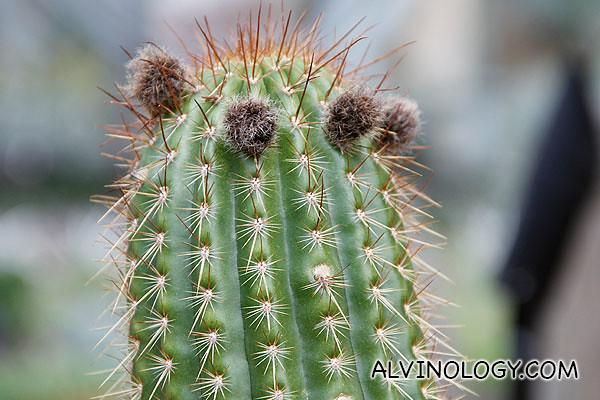Furry cactus pollen