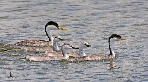 Western Grebes - family of five - 5004bsg
