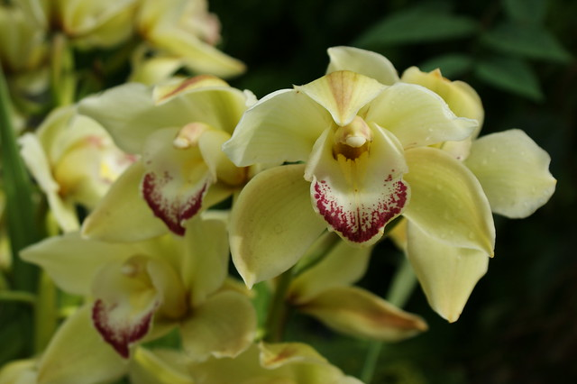 Cymbidium  Smoke King 'Geyserland' (2)