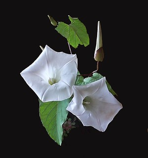 Bindweed (Wild Flower)