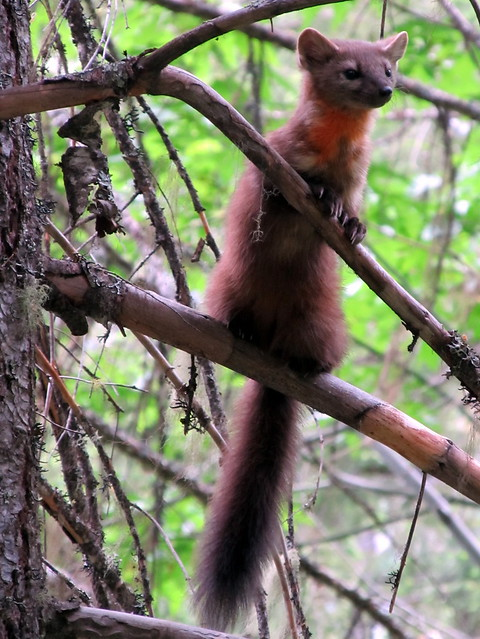Pine Marten at Coon Lake