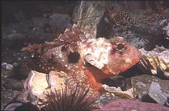 Pacific spotted scorpionfish - Diving in Peru with Nature Expeditons