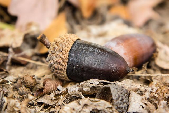 Nov white oak acorn flickr photo sharing
