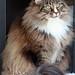 Tribut an eine wahre Königin: Manneskinn's Lenja, eine Norwegische Waldkatze, die in den Herzen ihrer Freunde weiterleben wird by katzenjournal