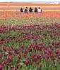 tulips014LK
