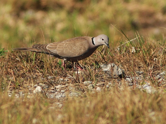 Eurasian Collard-Dove 20140410