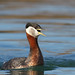 Red-necked Grebe by rajojomanik_99
