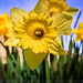 Daffodil at Heddon's Mouth