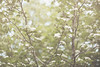 Spring-Forest-Blossoms-II