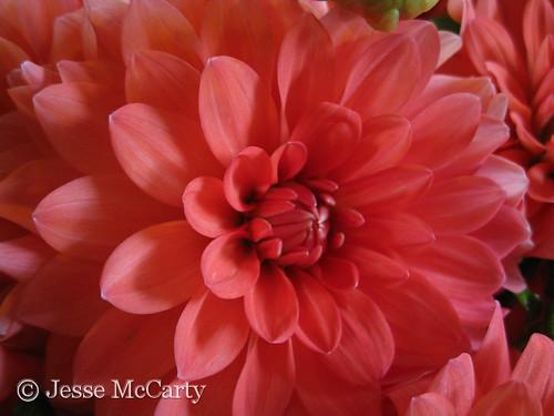 Pink Dahlia Close Up