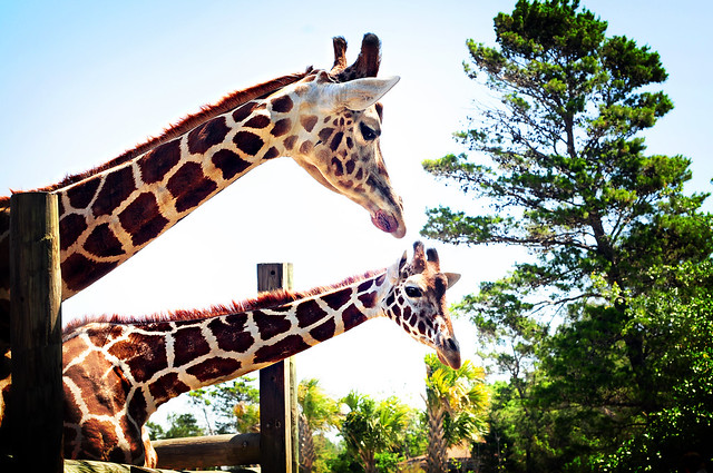 pretty giraffes