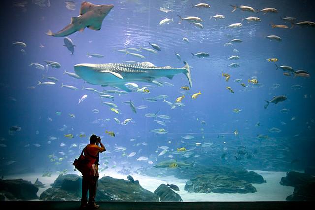 Two Sharks and a Photographer (Georgia Aquarium)