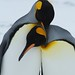 Small photo of Affectionate King Penguins