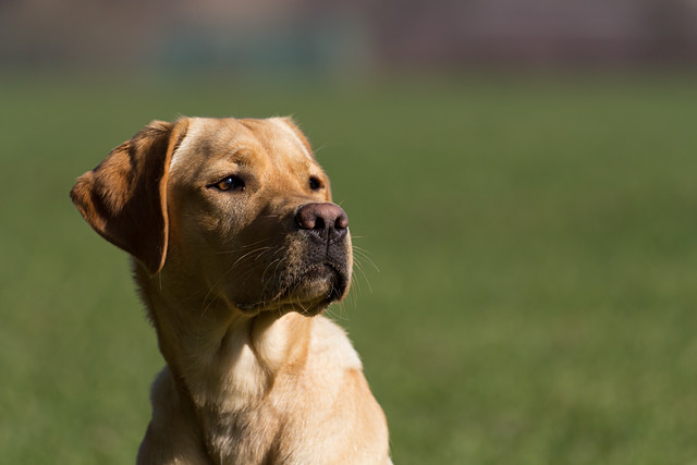labrador retriever, yellow lab