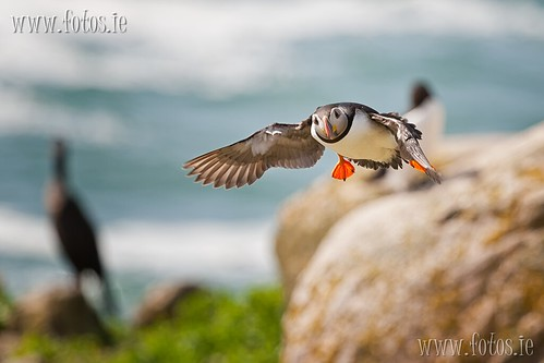 saltee Island Atlantic Puffin