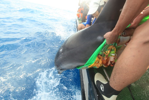 上午9:18於安平外海10海浬處 成功將瓶鼻海豚順子野放。(圖片來源:林務局)
