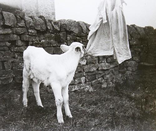 Sheep nibbles washing