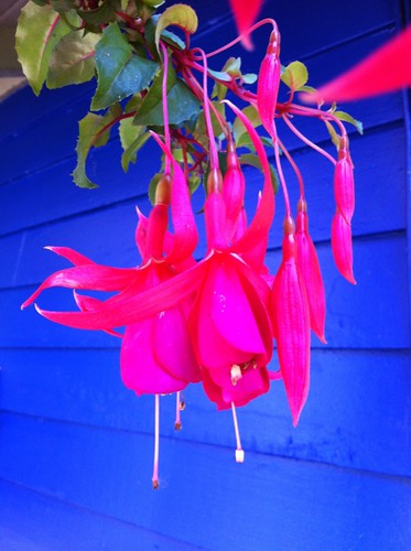 fuschia on blue