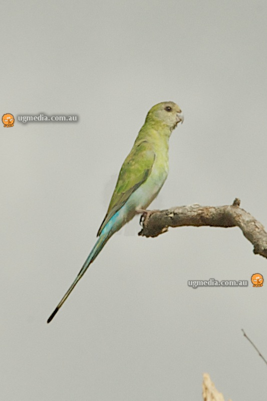 Golden-shouldered parrot (Psephotus chrysopterygius)