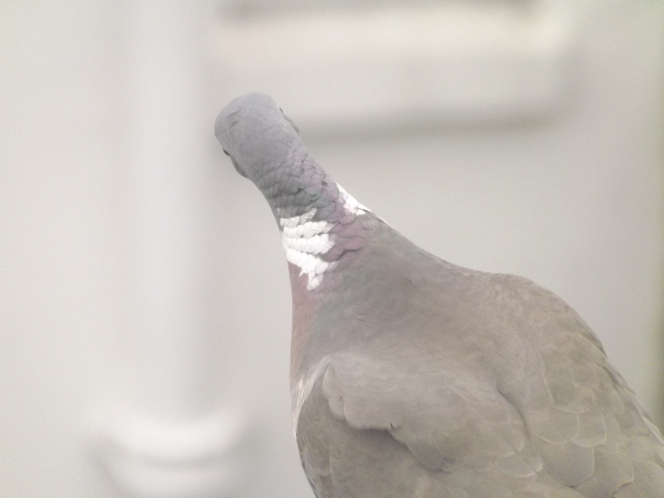 pigeon_back